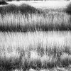 pevensey-1(reeds)